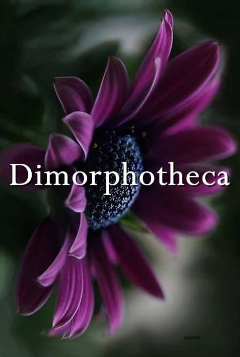 Dimorphotheca