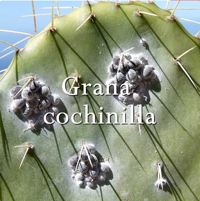 Grana cochinilla